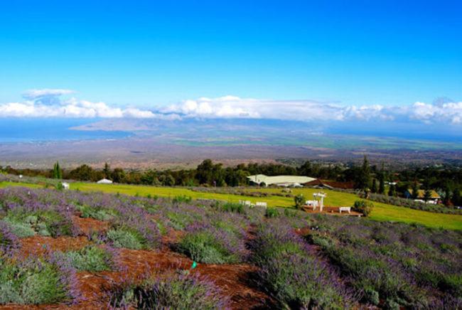 ali'i kula lavender farm tour