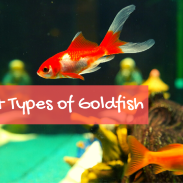 What is the Scientific Name of Goldfish